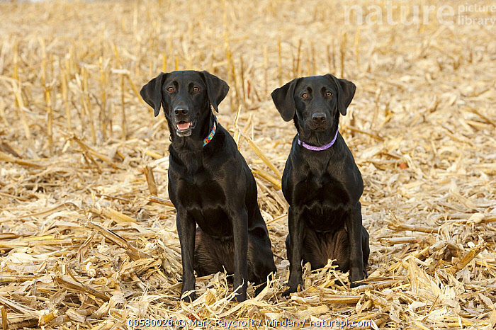 Black Labrador Retriever (Canis familiaris) females, North America  ,  Adult, Black, Black Labrador Retriever, Canis familiaris, Color Image, Day, Domestic Dog, Female, Front View, Full Length, Horizontal, Looking at Camera, Nobody, North America, Outdoors, Photography, Two Animals,Black Labrador Retriever,North America  ,  Mark Raycroft