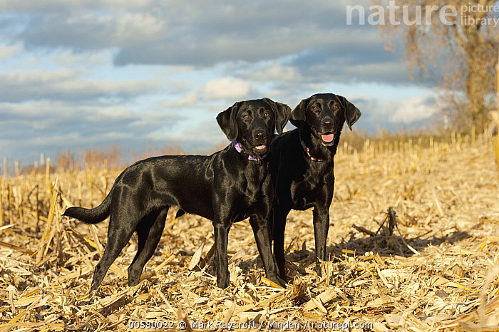 Black Labrador Retriever (Canis familiaris) females, North America  ,  Adult, Black Labrador Retriever, Canis familiaris, Color Image, Day, Domestic Dog, Female, Full Length, Horizontal, Nobody, North America, Outdoors, Photography, Side View, Two Animals,Black Labrador Retriever,North America  ,  Mark Raycroft