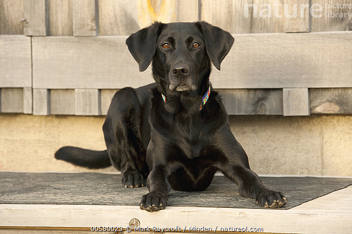 Black Labrador Retriever (Canis familiaris) female, North America  ,  Adult, Black Labrador Retriever, Canis familiaris, Color Image, Day, Domestic Dog, Female, Front View, Full Length, Horizontal, Looking at Camera, Nobody, North America, One Animal, Outdoors, Photography,Black Labrador Retriever,North America  ,  Mark Raycroft