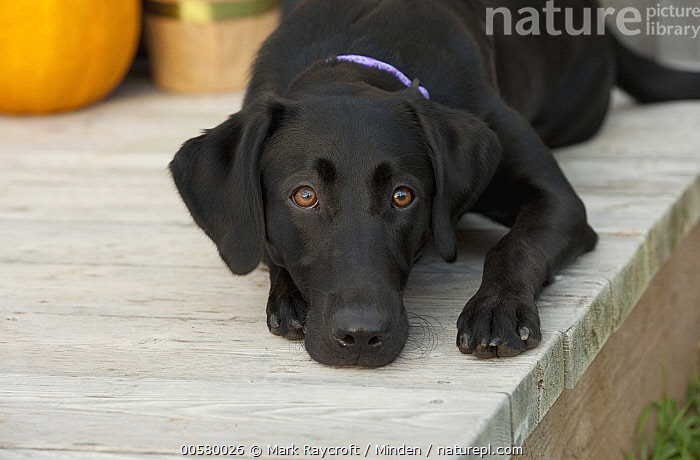 Black Labrador Retriever (Canis familiaris) female, North America, Adult, Black Labrador Retriever, Canis familiaris, Color Image, Day, Domestic Dog, Female, Front View, Horizontal, Nobody, North America, One Animal, Outdoors, Photography, Three Quarter Length,Black Labrador Retriever,North America, Mark Raycroft