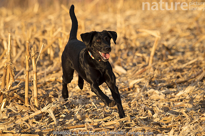 Black Labrador Retriever (Canis familiaris) female running, North America  ,  Adult, Black Labrador Retriever, Canis familiaris, Color Image, Day, Domestic Dog, Female, Full Length, Horizontal, Nobody, North America, One Animal, Outdoors, Photography, Running, Side View,Black Labrador Retriever,North America  ,  Mark Raycroft