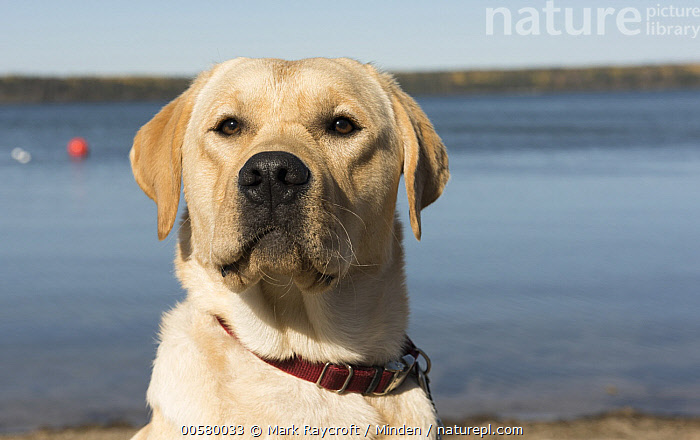 Yellow Labrador Retriever (Canis familiaris), North America  ,  Adult, Canis familiaris, Close Up, Color Image, Day, Domestic Dog, Front View, Head and Shoulders, Horizontal, Looking at Camera, Nobody, North America, One Animal, Outdoors, Photography, Portrait, Yellow Labrador Retriever,Yellow Labrador Retriever,North America  ,  Mark Raycroft
