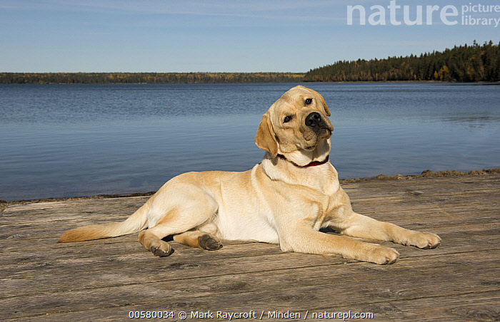Yellow Labrador Retriever (Canis familiaris), North America  ,  Adult, Canis familiaris, Color Image, Day, Domestic Dog, Full Length, Horizontal, Nobody, North America, One Animal, Outdoors, Photography, Side View, Yellow Labrador Retriever,Yellow Labrador Retriever,North America  ,  Mark Raycroft
