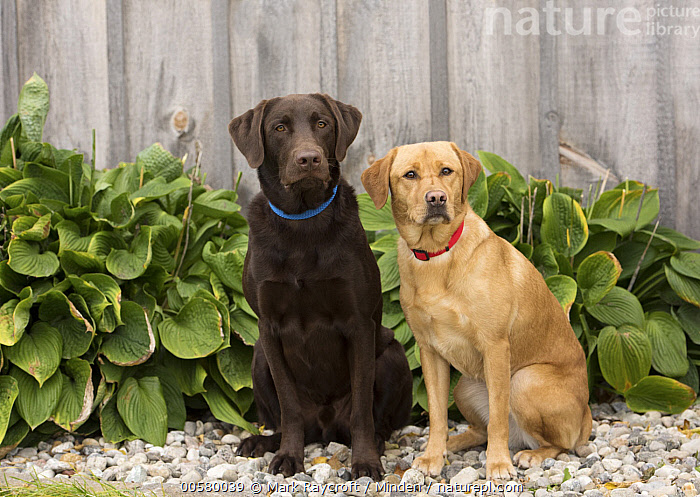 Yellow Labrador Retriever (Canis familiaris) and Chocolate Labrador Retriever (Canis familiaris), North America  ,  Adult, Canis familiaris, Chocolate Labrador Retriever, Color Image, Day, Difference, Domestic Dog, Front View, Full Length, Horizontal, Looking at Camera, Mixed, Nobody, North America, Outdoors, Photography, Side View, Two Animals, Yellow Labrador Retriever,Yellow Labrador Retriever,Chocolate Labrador Retriever,Canis familiaris,North America  ,  Mark Raycroft