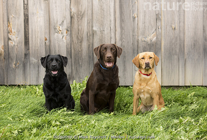 Black Labrador Retriever (Canis familiaris), Chocolate Labrador Retriever (Canis familiaris), and Yellow Labrador Retriever (Canis familiaris), North America, Adult, Black Labrador Retriever, Canis familiaris, Chocolate Labrador Retriever, Color Image, Day, Difference, Domestic Dog, Front View, Full Length, Horizontal, Looking at Camera, Mixed, Nobody, North America, Outdoors, Photography, Smiling, Three Animals, Yellow Labrador Retriever,Black Labrador Retriever,Chocolate Labrador Retriever,Canis familiaris,North America, Mark Raycroft