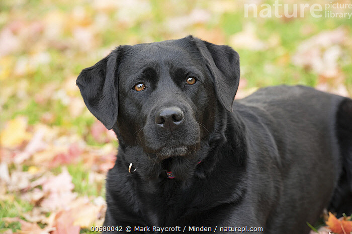 Black Labrador Retriever (Canis familiaris), North America, Adult, Black Labrador Retriever, Canis familiaris, Close Up, Color Image, Day, Domestic Dog, Horizontal, Looking at Camera, Nobody, North America, One Animal, Outdoors, Photography, Side View, Three Quarter Length,Black Labrador Retriever,North America, Mark Raycroft