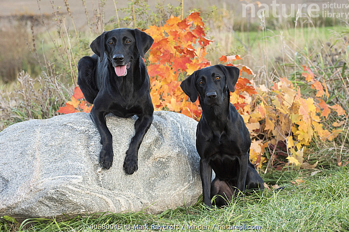 Black Labrador Retriever (Canis familiaris) pair, North America, Adult, Black Labrador Retriever, Canis familiaris, Color Image, Day, Domestic Dog, Front View, Full Length, Horizontal, Looking at Camera, Nobody, North America, Outdoors, Photography, Two Animals,Black Labrador Retriever,North America, Mark Raycroft