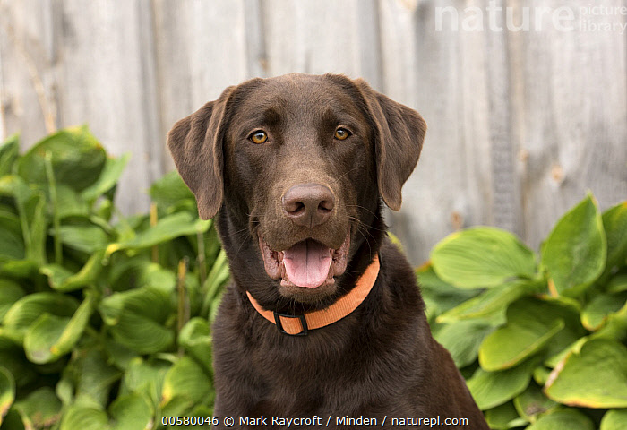 Chocolate Labrador Retriever (Canis familiaris), North America, Adult, Canis familiaris, Chocolate Labrador Retriever, Color Image, Day, Domestic Dog, Front View, Head and Shoulders, Horizontal, Looking at Camera, Nobody, North America, One Animal, Open Mouth, Outdoors, Photography, Portrait,Chocolate Labrador Retriever,North America, Mark Raycroft