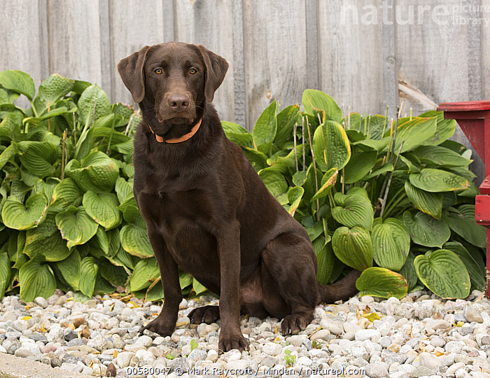 Chocolate Labrador Retriever (Canis familiaris), North America, Adult, Canis familiaris, Chocolate Labrador Retriever, Color Image, Day, Domestic Dog, Full Length, Horizontal, Looking at Camera, Nobody, North America, One Animal, Outdoors, Photography, Side View,Chocolate Labrador Retriever,North America, Mark Raycroft