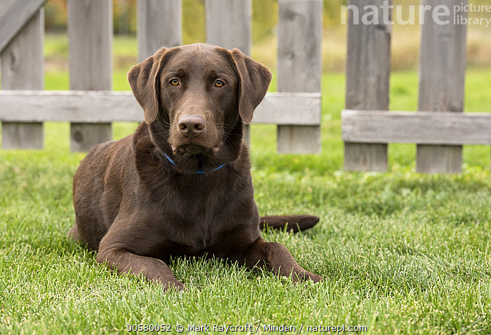 Chocolate Labrador Retriever (Canis familiaris), North America  ,  Adult, Canis familiaris, Chocolate Labrador Retriever, Color Image, Day, Domestic Dog, Front View, Full Length, Horizontal, Nobody, North America, One Animal, Outdoors, Photography,Chocolate Labrador Retriever,North America  ,  Mark Raycroft