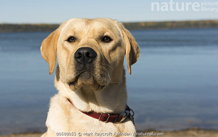 Yellow Labrador Retriever (Canis familiaris), North America  ,  Adult, Canis familiaris, Close Up, Color Image, Day, Domestic Dog, Front View, Head and Shoulders, Horizontal, Nobody, North America, One Animal, Outdoors, Photography, Portrait, Yellow Labrador Retriever,Yellow Labrador Retriever,North America  ,  Mark Raycroft