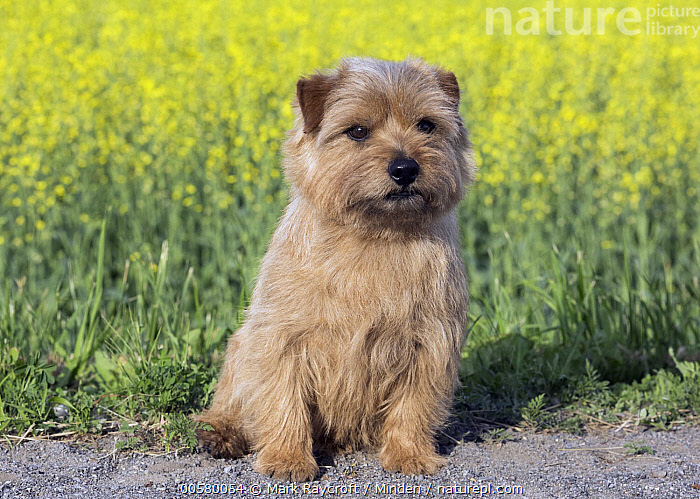 Norfolk Terrier (Canis familiaris), North America, Adult, Canis familiaris, Color Image, Day, Domestic Dog, Front View, Full Length, Horizontal, Looking at Camera, Nobody, North America, Norfolk Terrier, One Animal, Outdoors, Photography,Norfolk Terrier,North America, Mark Raycroft
