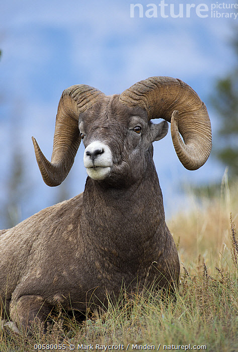 Bighorn Sheep (Ovis canadensis) ram, North America, Adult, Bighorn Sheep, Color Image, Day, Horn, Male, Nobody, North America, One Animal, Outdoors, Ovis canadensis, Photography, Ram, Side View, Vertical, Waist Up, Wildlife,Bighorn Sheep,North America, Mark Raycroft