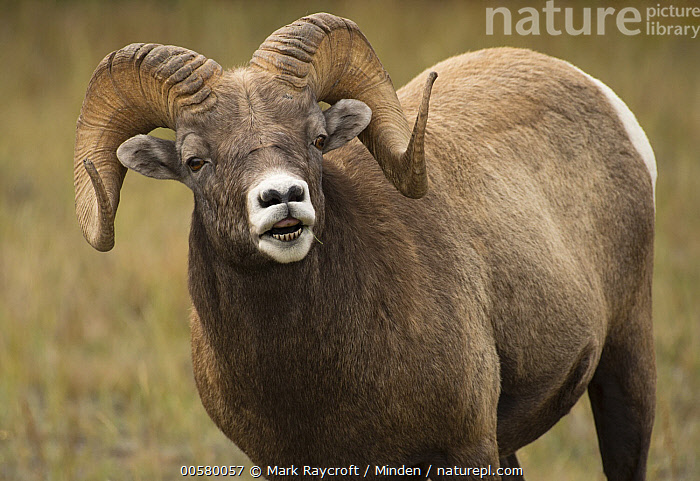 Bighorn Sheep (Ovis canadensis) ram, North America  ,  Adult, Bighorn Sheep, Color Image, Day, Horizontal, Looking at Camera, Male, Nobody, North America, One Animal, Outdoors, Ovis canadensis, Photography, Ram, Side View, Three Quarter Length, Wildlife,Bighorn Sheep,North America  ,  Mark Raycroft