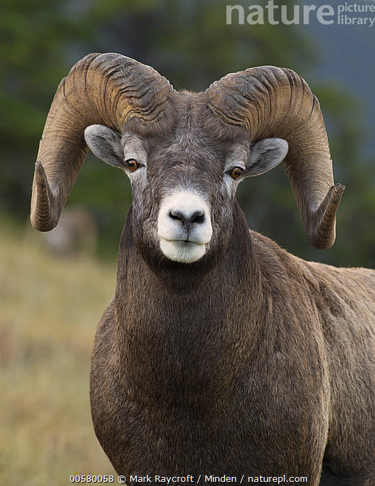 Bighorn Sheep (Ovis canadensis) ram, North America, Adult, Bighorn Sheep, Close Up, Color Image, Day, Front View, Looking at Camera, Male, Nobody, North America, One Animal, Outdoors, Ovis canadensis, Photography, Ram, Vertical, Waist Up, Wildlife,Bighorn Sheep,North America, Mark Raycroft