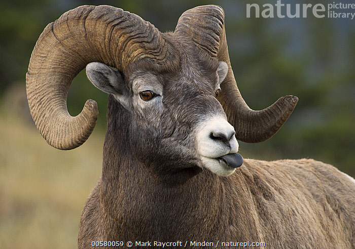 Bighorn Sheep (Ovis canadensis) ram sticking out tongue, North America  ,  Adult, Bighorn Sheep, Close Up, Color Image, Day, Funny, Horizontal, Humor, Male, Nobody, North America, One Animal, Outdoors, Ovis canadensis, Photography, Ram, Side View, Tongue, Waist Up, Wildlife,Bighorn Sheep,North America  ,  Mark Raycroft