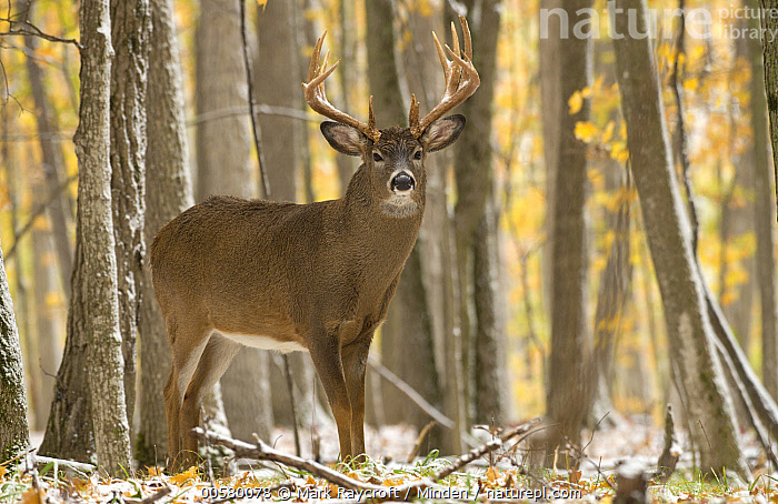 White-tailed Deer (Odocoileus virginianus) buck in snowfall, North America  ,  Adult, Buck, Color Image, Day, Full Length, Horizontal, Looking at Camera, Male, Nobody, North America, Odocoileus virginianus, One Animal, Outdoors, Photography, Side View, Snowfall, White-tailed Deer, Wildlife,White-tailed Deer,North America  ,  Mark Raycroft