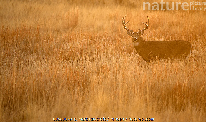 White-tailed Deer (Odocoileus virginianus) buck in grassland at sunrise, North America  ,  Adult, Animal in Habitat, Backlighting, Buck, Color Image, Day, Full Length, Grassland, Horizontal, Looking at Camera, Male, Moody, Nobody, North America, Odocoileus virginianus, One Animal, Outdoors, Photography, Side View, Sunrise, White-tailed Deer, Wildlife,White-tailed Deer,North America  ,  Mark Raycroft