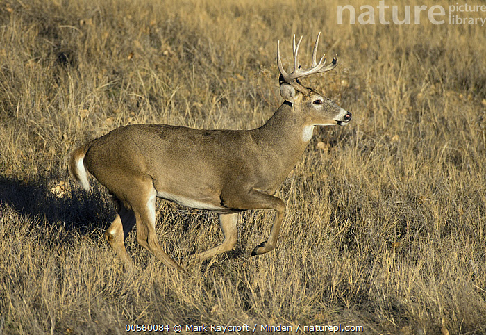 White-tailed Deer (Odocoileus virginianus) buck running, North America  ,  Adult, Buck, Color Image, Day, Full Length, Horizontal, Male, Nobody, North America, Odocoileus virginianus, One Animal, Outdoors, Photography, Running, Side View, White-tailed Deer, Wildlife,White-tailed Deer,North America  ,  Mark Raycroft