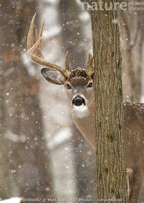 White-tailed Deer (Odocoileus virginianus) buck in snowfall, North America  ,  Adult, Buck, Color Image, Day, Head and Shoulders, Looking at Camera, Male, Nobody, North America, Odocoileus virginianus, One Animal, Outdoors, Peeking, Photography, Portrait, Side View, Snowfall, Vertical, White-tailed Deer, Wildlife, Winter,White-tailed Deer,North America  ,  Mark Raycroft