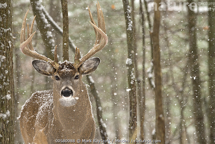 White-tailed Deer (Odocoileus virginianus) buck in snowfall, North America, Adult, Buck, Color Image, Day, Front View, Horizontal, Looking at Camera, Male, Nobody, North America, Odocoileus virginianus, One Animal, Outdoors, Photography, Snowfall, Waist Up, White-tailed Deer, Wildlife, Winter,White-tailed Deer,North America, Mark Raycroft
