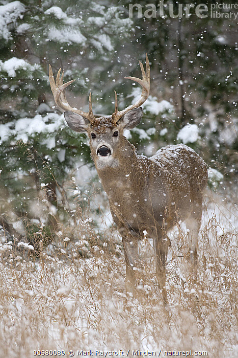 White-tailed Deer (Odocoileus virginianus) buck in snowfall, North America, Adult, Buck, Color Image, Day, Full Length, Looking at Camera, Male, Nobody, North America, Odocoileus virginianus, One Animal, Outdoors, Photography, Side View, Snowfall, Vertical, White-tailed Deer, Wildlife, Winter,White-tailed Deer,North America, Mark Raycroft