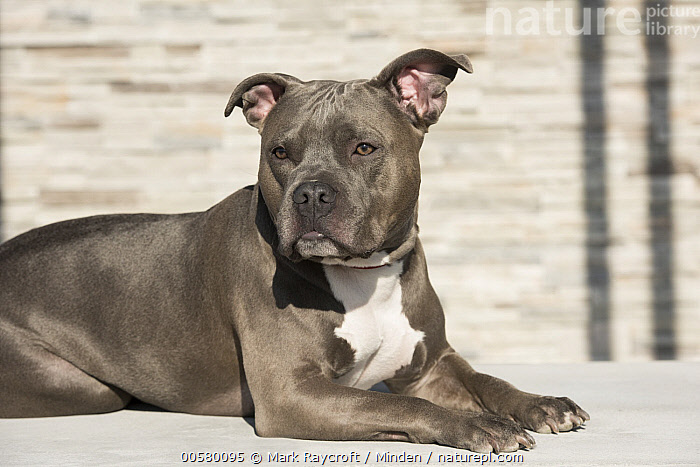 American Pit Bull Terrier (Canis familiaris), North America  ,  Adult, American Pit Bull Terrier, Bull, Canis familiaris, Color Image, Day, Domestic Dog, Horizontal, Male, Nobody, North America, One Animal, Outdoors, Photography, Side View, Waist Up,American Pit Bull Terrier,North America  ,  Mark Raycroft