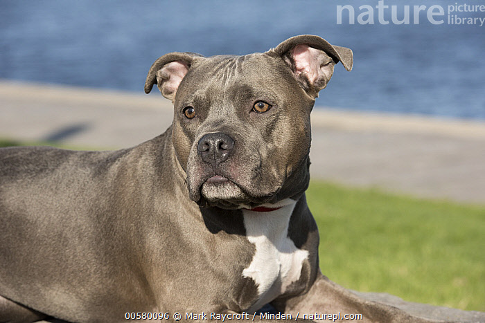 American Pit Bull Terrier (Canis familiaris), North America, Adult, American Pit Bull Terrier, Bull, Canis familiaris, Color Image, Day, Domestic Dog, Horizontal, Male, Nobody, North America, One Animal, Outdoors, Photography, Side View, Waist Up,American Pit Bull Terrier,North America, Mark Raycroft