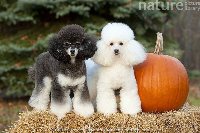 Toy Poodle (Canis familiaris) pair, North America, Adult, Canis familiaris, Color Image, Day, Difference, Domestic Dog, Front View, Full Length, Horizontal, Looking at Camera, Nobody, North America, Outdoors, Photography, Toy Poodle, Two Animals, White,Toy Poodle,North America, Mark Raycroft