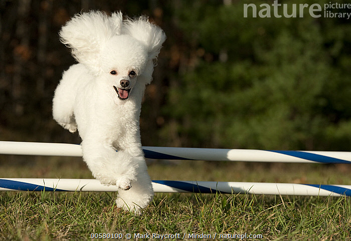 Toy Poodle (Canis familiaris) jumping, North America  ,  Adult, Canis familiaris, Color Image, Day, Domestic Dog, Front View, Full Length, Horizontal, Jumping, Looking at Camera, Nobody, North America, One Animal, Outdoors, Photography, Toy Poodle, White,Toy Poodle,North America  ,  Mark Raycroft
