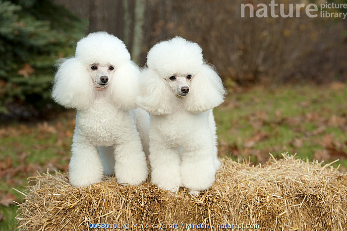 Toy Poodle (Canis familiaris) pair, North America  ,  Adult, Canis familiaris, Color Image, Day, Domestic Dog, Front View, Full Length, Horizontal, Nobody, North America, Outdoors, Photography, Toy Poodle, Two Animals, White,Toy Poodle,North America  ,  Mark Raycroft