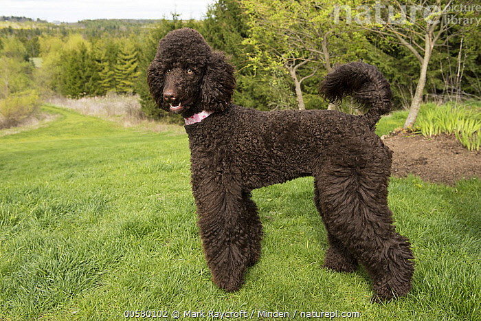 Standard Poodle (Canis familiaris), North America  ,  Adult, Black, Canis familiaris, Color Image, Day, Domestic Dog, Full Length, Horizontal, Nobody, North America, One Animal, Outdoors, Photography, Side View, Standard Poodle,Standard Poodle,North America  ,  Mark Raycroft