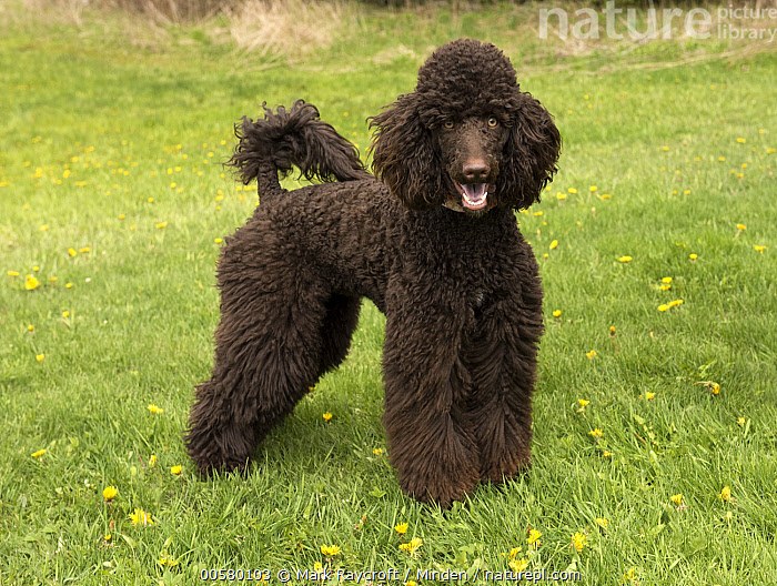 Standard Poodle (Canis familiaris), North America  ,  Adult, Black, Canis familiaris, Color Image, Day, Domestic Dog, Full Length, Horizontal, Looking at Camera, Nobody, North America, One Animal, Open Mouth, Outdoors, Photography, Side View, Standard Poodle,Standard Poodle,North America  ,  Mark Raycroft