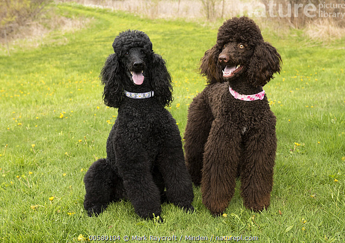 Standard Poodle (Canis familiaris) pair, North America, Adult, Black, Canis familiaris, Color Image, Day, Domestic Dog, Front View, Full Length, Horizontal, Nobody, North America, Open Mouth, Outdoors, Photography, Standard Poodle, Two Animals,Standard Poodle,North America, Mark Raycroft
