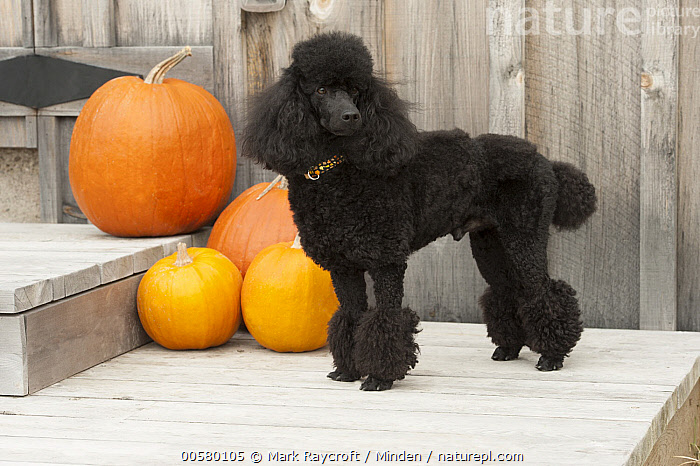 Miniature Poodle (Canis familiaris), North America, Adult, Black, Canis familiaris, Color Image, Day, Domestic Dog, Full Length, Horizontal, Miniature Poodle, Nobody, North America, One Animal, Outdoors, Photography, Side View,Miniature Poodle,North America, Mark Raycroft