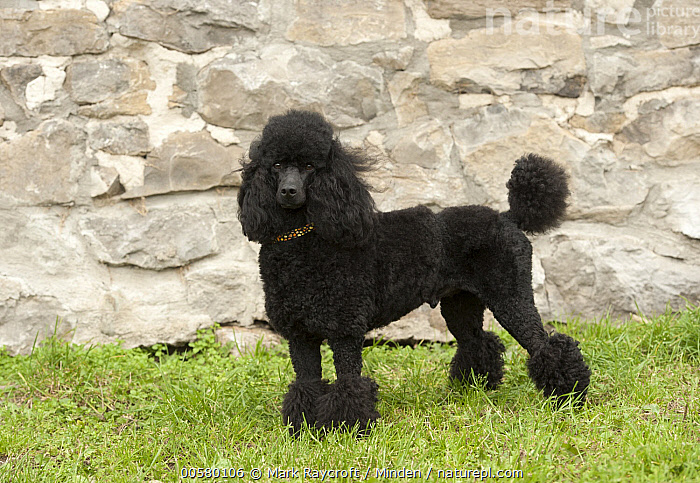 Miniature Poodle (Canis familiaris), North America, Adult, Black, Canis familiaris, Color Image, Day, Domestic Dog, Full Length, Horizontal, Looking at Camera, Miniature Poodle, Nobody, North America, One Animal, Outdoors, Photography, Side View,Miniature Poodle,North America, Mark Raycroft