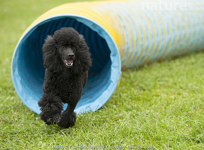 Miniature Poodle (Canis familiaris) running, North America  ,  Adult, Black, Canis familiaris, Color Image, Day, Domestic Dog, Front View, Full Length, Horizontal, Miniature Poodle, Nobody, North America, One Animal, Outdoors, Photography, Running,Miniature Poodle,North America  ,  Mark Raycroft