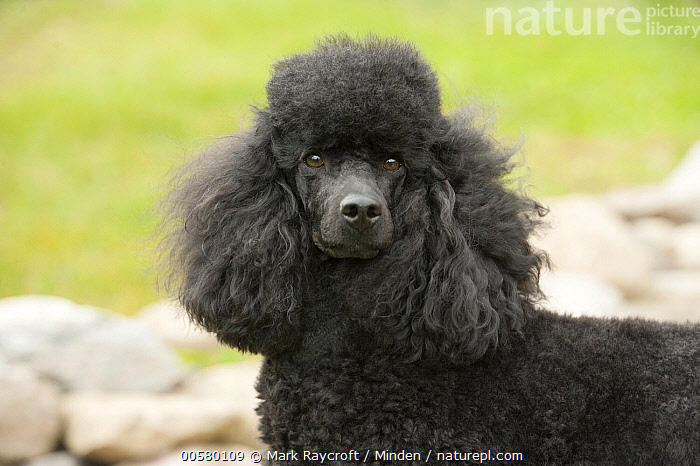 Miniature Poodle (Canis familiaris), North America, Adult, Black, Canis familiaris, Close Up, Color Image, Day, Domestic Dog, Horizontal, Looking at Camera, Miniature Poodle, Nobody, North America, One Animal, Outdoors, Photography, Side View, Waist Up,Miniature Poodle,North America, Mark Raycroft