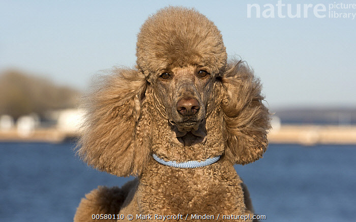 Standard Poodle (Canis familiaris), North America  ,  Adult, Canis familiaris, Color Image, Day, Domestic Dog, Front View, Horizontal, Looking at Camera, Nobody, North America, One Animal, Outdoors, Photography, Standard Poodle, Waist Up,Standard Poodle,North America  ,  Mark Raycroft