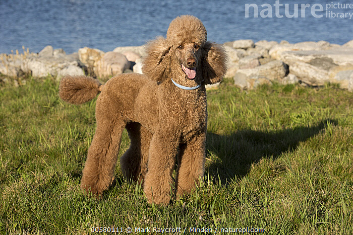 Standard Poodle (Canis familiaris), North America  ,  Adult, Canis familiaris, Color Image, Day, Domestic Dog, Full Length, Horizontal, Looking at Camera, Nobody, North America, One Animal, Outdoors, Photography, Side View, Standard Poodle,Standard Poodle,North America  ,  Mark Raycroft