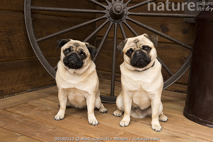 Pug (Canis familiaris) male and female, North America  ,  Adult, Canis familiaris, Color Image, Day, Domestic Dog, Female, Front View, Full Length, Horizontal, Looking at Camera, Male, Nobody, North America, Outdoors, Photography, Pug, Two Animals,Pug,North America  ,  Mark Raycroft