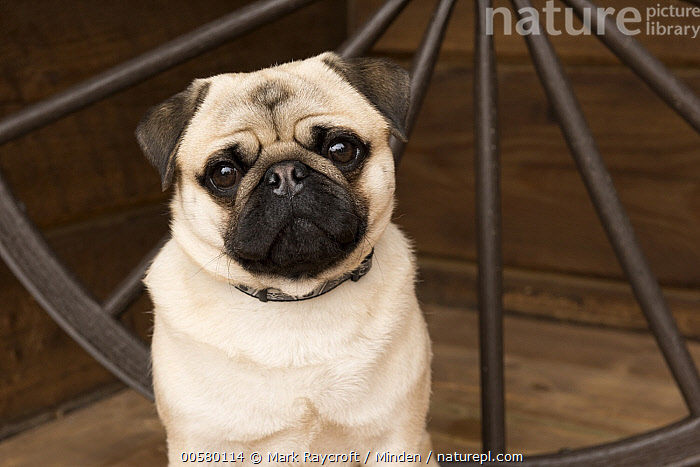 Pug (Canis familiaris) male, North America, Adult, Canis familiaris, Close Up, Color Image, Day, Domestic Dog, Front View, Head and Shoulders, Horizontal, Looking at Camera, Male, Nobody, North America, One Animal, Outdoors, Photography, Portrait, Pug,Pug,North America, Mark Raycroft