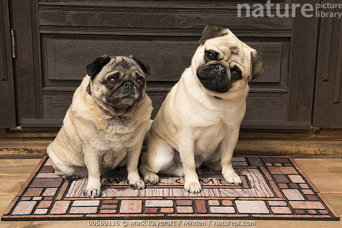 Pug (Canis familiaris) male and female, North America  ,  Adult, Canis familiaris, Color Image, Day, Domestic Dog, Female, Full Length, Horizontal, Looking at Camera, Male, Nobody, North America, Outdoors, Photography, Pug, Side View, Two Animals,Pug,North America  ,  Mark Raycroft