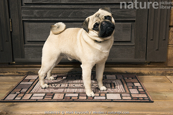 Pug (Canis familiaris) male, North America, Adult, Canis familiaris, Color Image, Day, Domestic Dog, Full Length, Horizontal, Looking at Camera, Male, Nobody, North America, One Animal, Outdoors, Photography, Pug, Side View,Pug,North America, Mark Raycroft