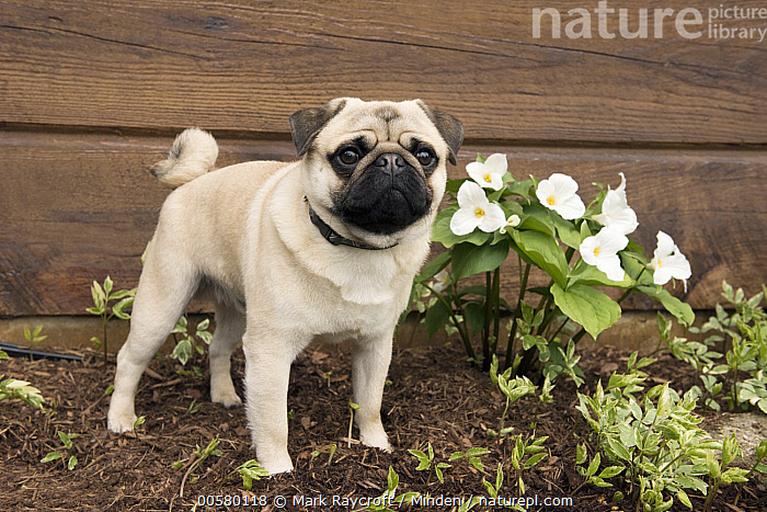Pug (Canis familiaris) male, North America  ,  Adult, Canis familiaris, Color Image, Day, Domestic Dog, Full Length, Horizontal, Male, Nobody, North America, One Animal, Outdoors, Photography, Pug, Side View,Pug,North America  ,  Mark Raycroft