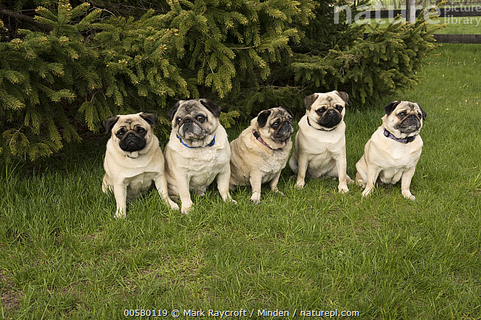 Pug (Canis familiaris) group, North America  ,  Adult, Canis familiaris, Color Image, Day, Domestic Dog, Five Animals, Front View, Full Length, Horizontal, Nobody, North America, Outdoors, Photography, Pug, Side View,Pug,North America  ,  Mark Raycroft