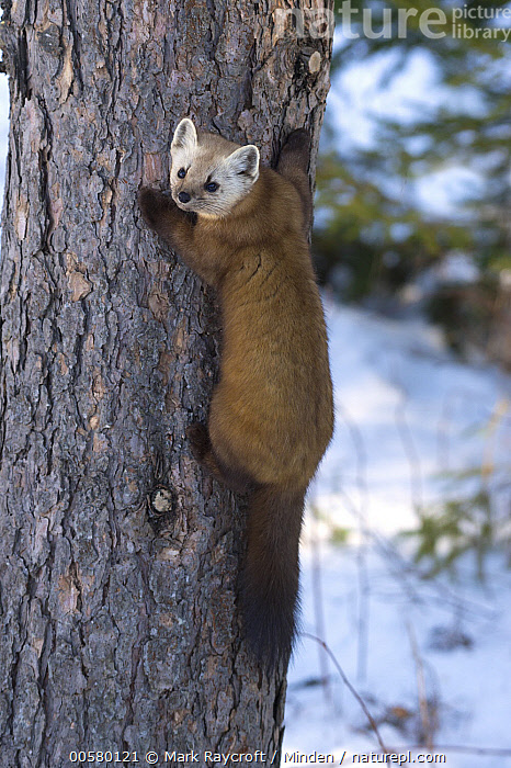 American Marten (Martes americana) in winter, North America, Adult, Color Image, Day, Full Length, Looking at Camera, Martes americana, Nobody, North America, One Animal, Outdoors, Photography, American Marten, Rear View, Vertical, Wildlife, Winter, Mark Raycroft