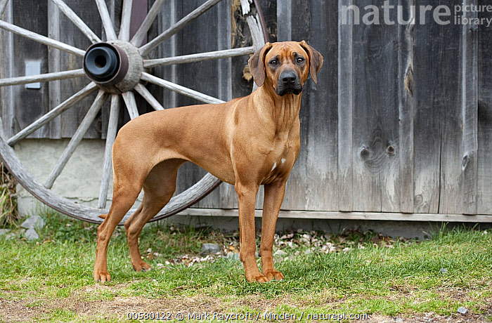 Rhodesian Ridgeback (Canis familiaris), North America  ,  Adult, Canis familiaris, Color Image, Day, Domestic Dog, Full Length, Horizontal, Nobody, North America, One Animal, Outdoors, Photography, Rhodesian Ridgeback, Side View,Rhodesian Ridgeback,North America  ,  Mark Raycroft