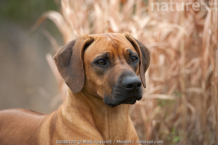 Rhodesian Ridgeback (Canis familiaris), North America, Adult, Canis familiaris, Close Up, Color Image, Day, Domestic Dog, Horizontal, Nobody, North America, One Animal, Outdoors, Photography, Rhodesian Ridgeback, Side View, Waist Up,Rhodesian Ridgeback,North America, Mark Raycroft