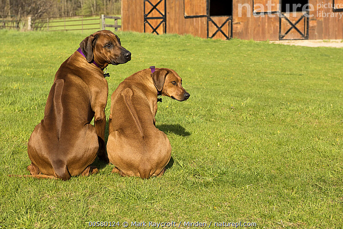 Rhodesian Ridgeback (Canis familiaris) male and female, North America, Adult, Canis familiaris, Color Image, Day, Domestic Dog, Female, Full Length, Horizontal, Looking Back, Male, Nobody, North America, Outdoors, Photography, Rear View, Rhodesian Ridgeback, Two Animals,Rhodesian Ridgeback,North America, Mark Raycroft